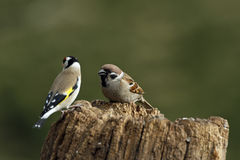 House Sparrow (Passer domesticus). House Sparrow with European Goldfinch on a log Royalty Free Stock Images