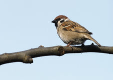 House Sparrow - (Passer domesticus) Stock Photos