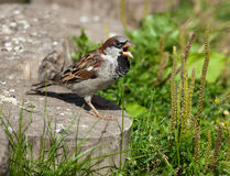 House Sparrow, Passer domesticus. The male of a House Sparrow (Passer domesticus) chirps Royalty Free Stock Photos