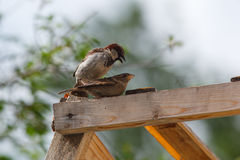House Sparrow, Passer domesticus Stock Image