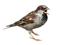 House Sparrow, Passer domesticus. Male in front of white background, isolated. House Sparrow (Passer domesticus stock photos