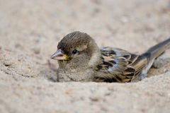 House Sparrow, Passer domesticus Royalty Free Stock Images