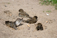 House Sparrow, Passer domesticus Stock Images