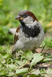 House Sparrow, Passer domesticus Royalty Free Stock Photography