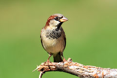 House Sparrow (Passer domesticus). Male House Sparrow (Passer domesticus) perched with a green background stock images