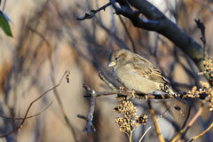 House sparrow, passer domesticus Royalty Free Stock Image