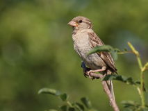 House Sparrow , Passer domesticus Royalty Free Stock Photography