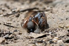 House Sparrow (Passer domesticus). Bird stock image