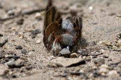 House Sparrow (Passer domesticus). Bird stock photos