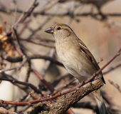 House Sparrow, Passer domesticus Stock Photography