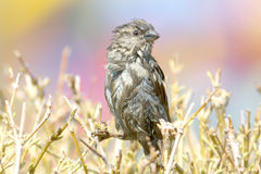 House sparrow / Passer domesticus Royalty Free Stock Image