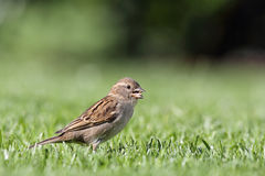 House Sparrow (Passer domesticus). Female House Sparrow (Passer domesticus) searching for food on a lawn stock image