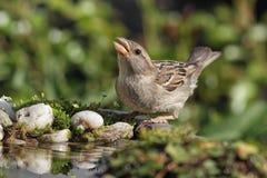 House Sparrow (Passer domesticus). Female House Sparrow (Passer domesticus) drinking at a bird bath stock photos