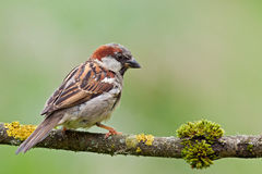 House Sparrow (Passer domesticus). House Sparrow (Passer domesticus) on a twig Royalty Free Stock Photo
