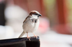 House Sparrow (Passer domesticus). Male House Sparrow (Passer domesticus Stock Image