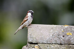 Free House Sparrow, Passer Domesticus Stock Photography - 32416102
