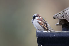 Free House Sparrow, Passer Domesticus Royalty Free Stock Images - 36642199