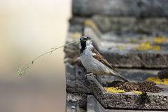 Free House Sparrow, Passer Domesticus Royalty Free Stock Photography - 36642207
