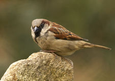 House Sparrow - (Passer domesticus). Small bird sitting on stone Royalty Free Stock Image