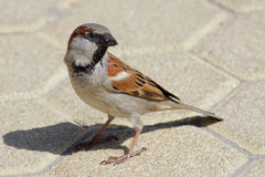 Free House Sparrow (Passer Domesticus) Stock Photos - 55273713