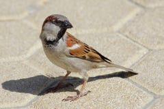 Free House Sparrow (Passer Domesticus) Stock Photos - 55273713