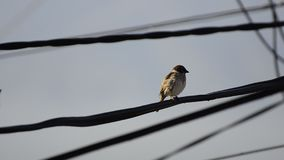 House Sparrow stock video footage