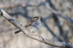 House sparrow (Passer domesticus) Stock Photos