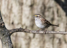 House sparrow (Passer domesticus) Stock Image