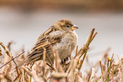 House sparrow or Passer domesticus Stock Photography