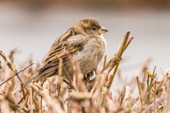 House sparrow or Passer domesticus Royalty Free Stock Photography