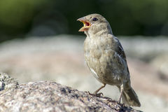 The House Sparrow (Passer domesticus) Stock Photo