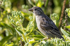 The House Sparrow (Passer domesticus) Royalty Free Stock Photo