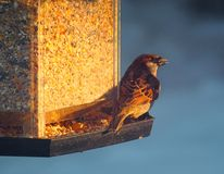 House Sparrow Or Passer Domesticus On Bird Feeder. House sparrow of Passer domesticus on bird feeder as the sun sets in winter royalty free stock photos