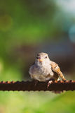 House Sparrow Passer Domesticus Bird On Fence Stock Photos