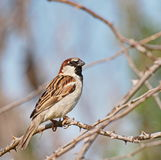 House Sparrow, Passer domesticus Royalty Free Stock Photo