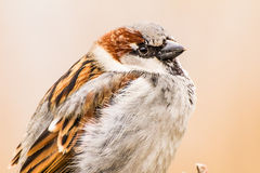 House sparrow or Passer domesticus, close-up Royalty Free Stock Photo