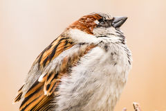 House sparrow or Passer domesticus, close-up Royalty Free Stock Images