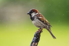 House Sparrow (Passer domesticus) Royalty Free Stock Photo