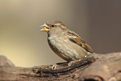 House Sparrow (Passer domesticus domesticus) Stock Images