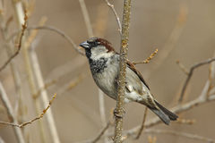 House Sparrow (Passer domesticus domesticus) Royalty Free Stock Photo