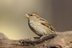 House Sparrow (Passer domesticus domesticus) Stock Photo
