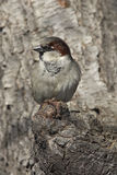 House Sparrow (Passer domesticus domesticus) Royalty Free Stock Images