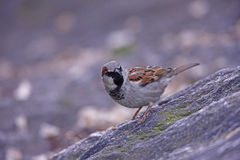 House Sparrow (Passer domesticus domesticus). Male in breeding plumage sitting on a rock Royalty Free Stock Photos
