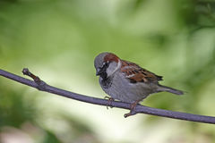 House Sparrow (Passer domesticus domesticus) Stock Photography