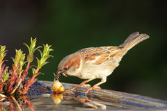 House Sparrow (Passer domesticus) Stock Photos