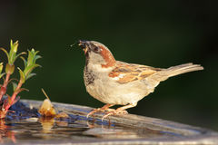 House Sparrow Passer domesticus Stock Images