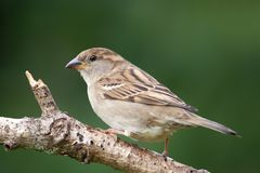 House Sparrow Passer domesticus. Female House Sparrow Passer domesticus in the garden stock images