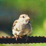 House Sparrow (Passer Domesticus) On Fence Royalty Free Stock Photography