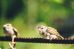 House Sparrow (Passer Domesticus) On Fence Stock Images