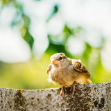 House Sparrow (Passer Domesticus) On Fence Stock Image